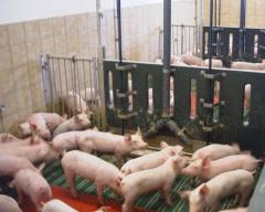 Equipment for pig husbandry
