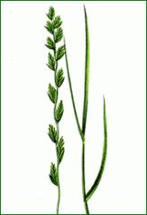 Futtergräser für ausdauernde kurz- mittel- bis
